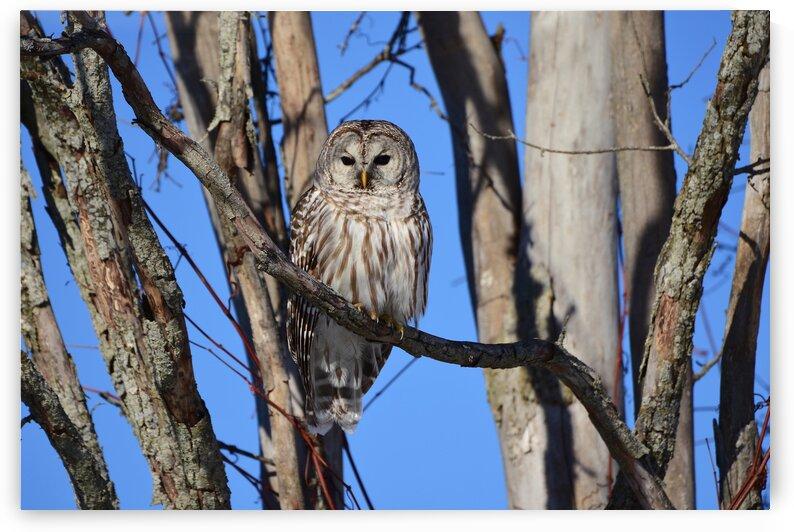 Barred Owl by Paul R  O-Toole