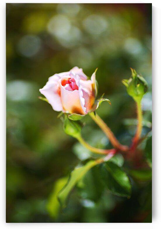 Abraham Darby Rose Pinks by Joy Watson