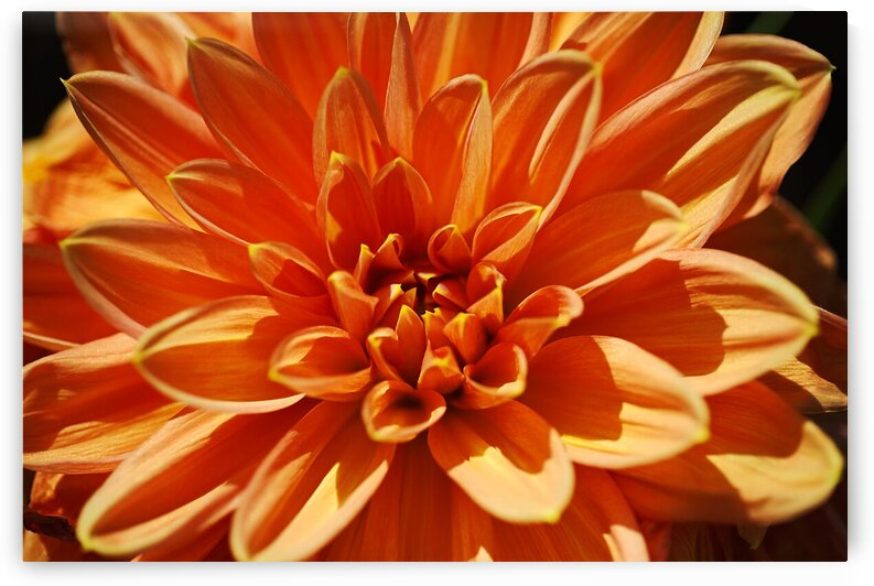 Orange Dinner Plate Dahlia Bloom by Joy Watson