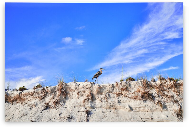 Heron standing on sand dunes St-Andrews state park Florida USA by Atelier Knox