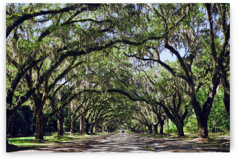 Spanish moss hanging over path at the Wormsloe historic site Savannah Georgia USA by Atelier Knox