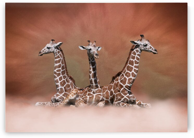 The Watchers - Three Young Giraffes in the Clouds 7x5 by Studio Dalio