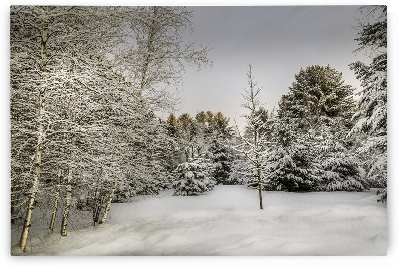 Bouleaux et pins au soleil levant recouverts de neige - Birch trees and pines in the rising sun covered with snow by Daniel Ouellette