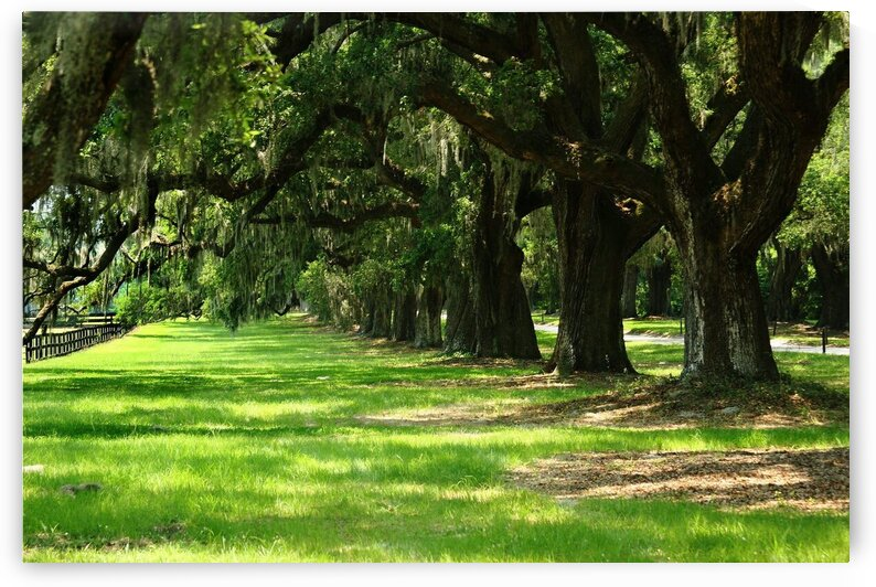 Trees at Boone Hall Plantation by Adam Mobley