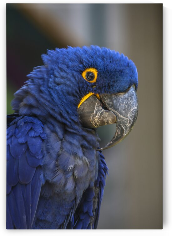 Blue Parrot by India Blake