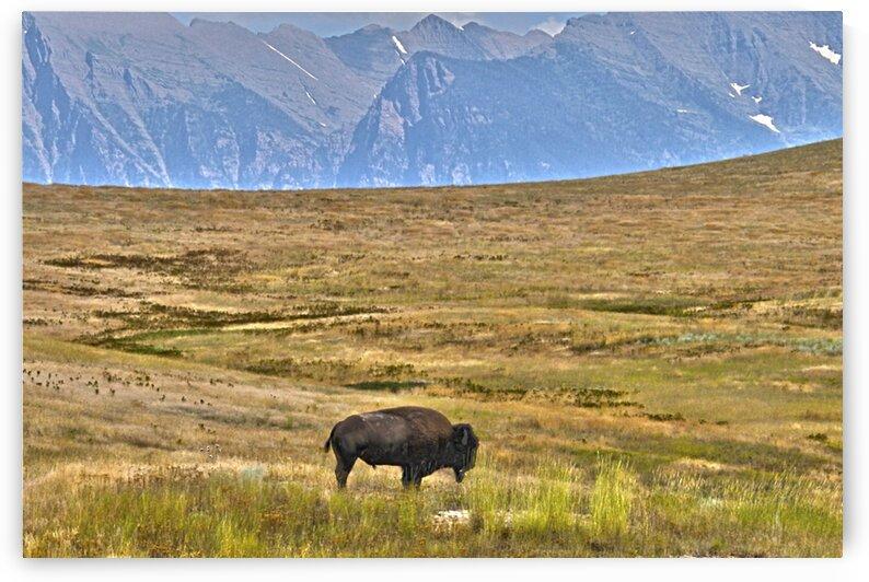 Lonely Buffalo by India Blake