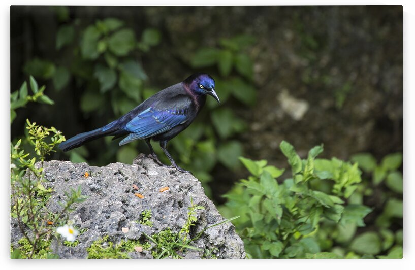 Boat-Tailed Grackle  by India Blake