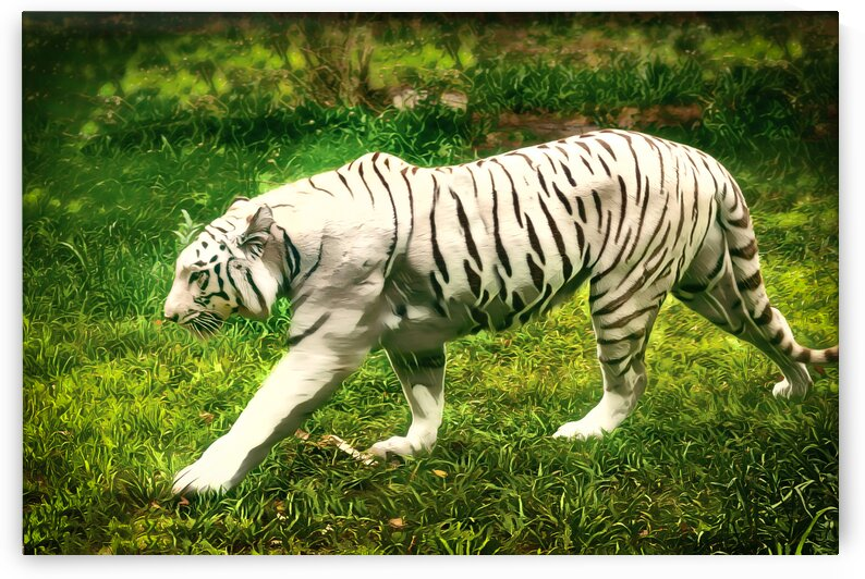 White Bengal Tiger by Eric Franks Photography