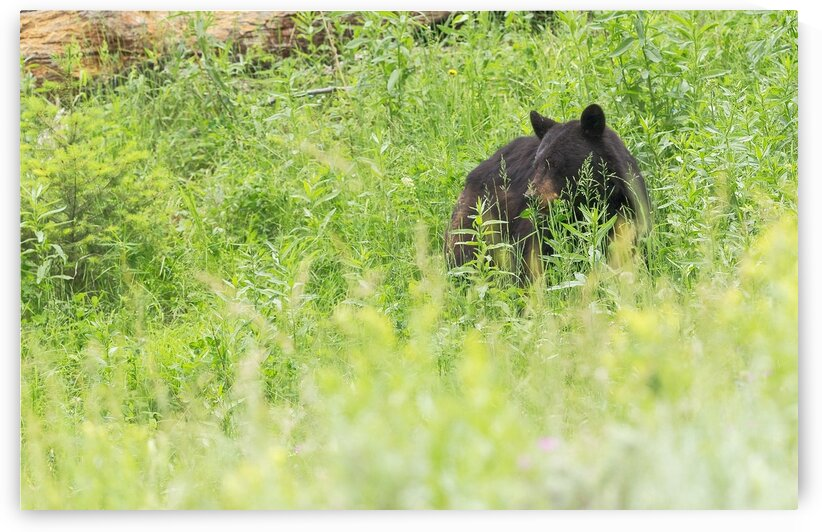 Bear meadow by Mountain Axis Photography