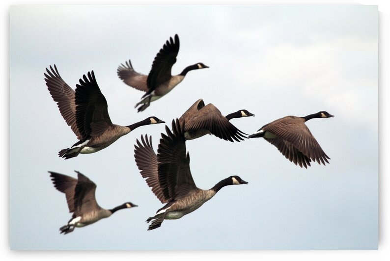 Canada Geese by Mountain Axis Photography