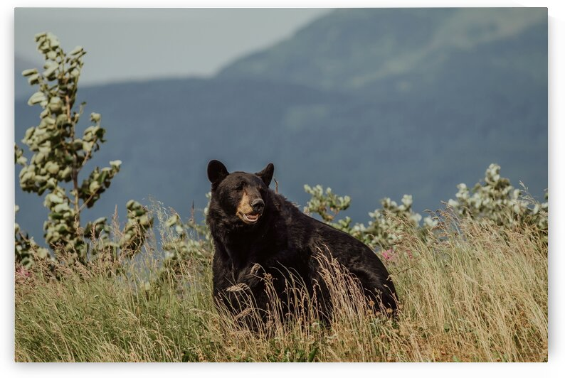 Black Bear Leadville by 5280Images