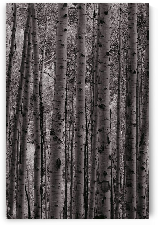 Aspen Grove B W by 5280Images