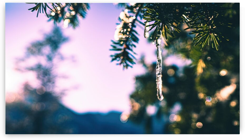 Frozen Pine by 5280Images