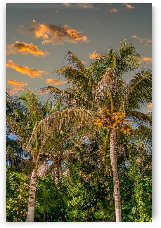 Coconut Palms in Late Afternoon Light by Darryl Brooks