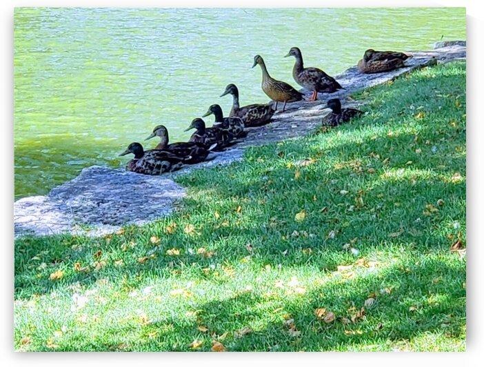 Ducks in a row by Ann Ciarico