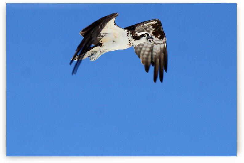 osprey bent wings 4448 by Dan Sheridan Photography