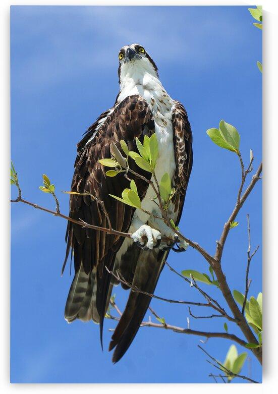 osprey both eyes above 4375 by Dan Sheridan Photography
