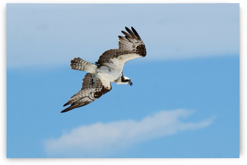 osprey angled 4486 by Dan Sheridan Photography