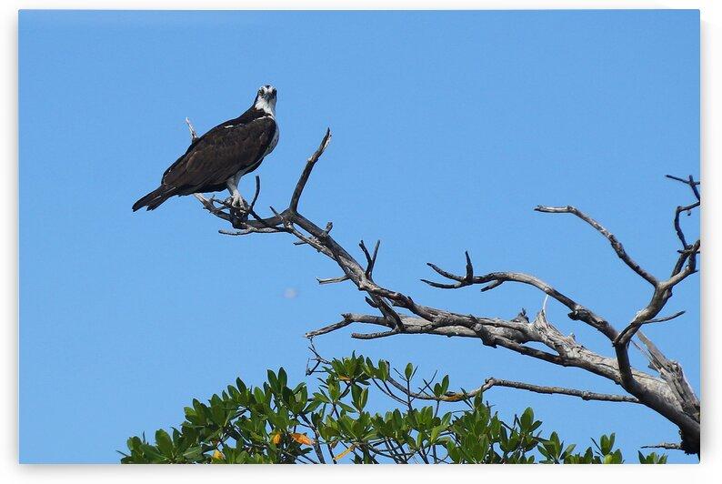 osprey in tree looking at camera 7519 by Dan Sheridan Photography