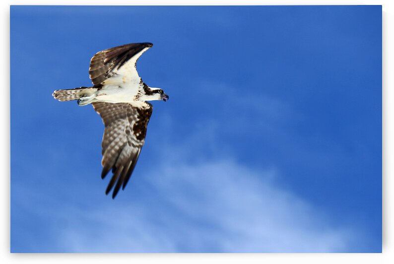 osprey tongue 4430 by Dan Sheridan Photography