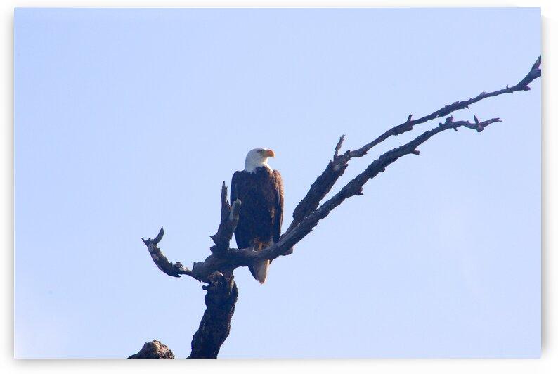 eagle looking left 0615 by Dan Sheridan Photography