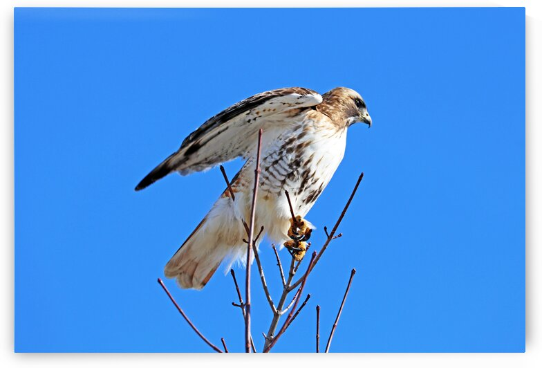 Red Tailed Hawk Ready For Flight by Deb Oppermann