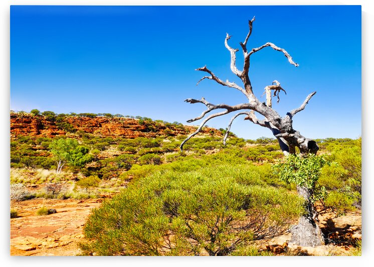 Bare Twisted Tree - Kings Canyon by Lexa Harpell