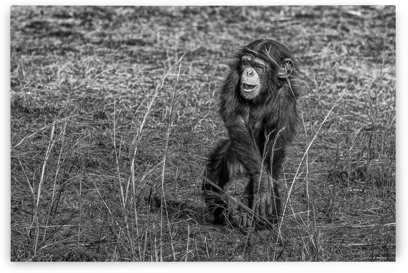 Baby Chimp 2 by Eric Franks Photography