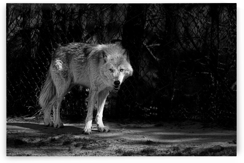 Wolf 1 by Eric Franks Photography