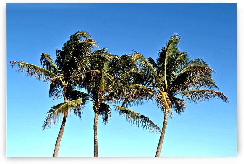 Florida Summer Palm Trees by Ashley N Boggs