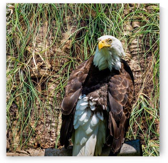 American Eagle by PitoFotos