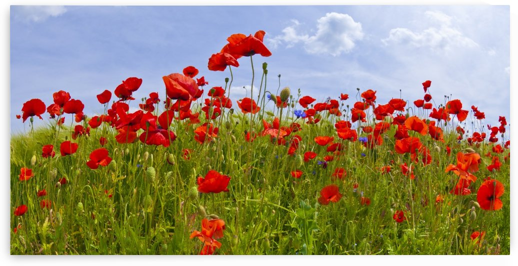 Field of Red Poppies by Melanie Viola