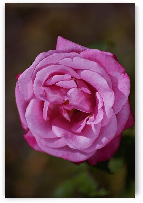 Angel Face Rose Bloom  by Joy Watson