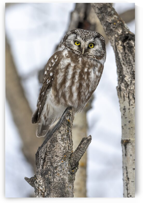 Boreal Owl - 2063  by Ken Anderson Photography