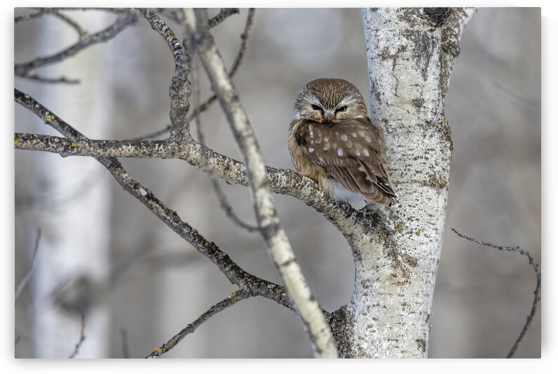 Northern Saw Whet Owl - 1427  by Ken Anderson Photography