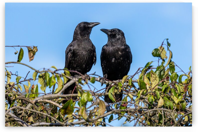 Two Crows in Love by bj clayden photography