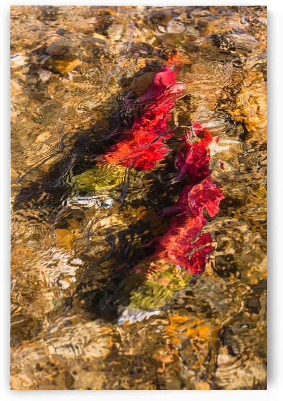 Spawning Sockeye Salmon by bj clayden photography
