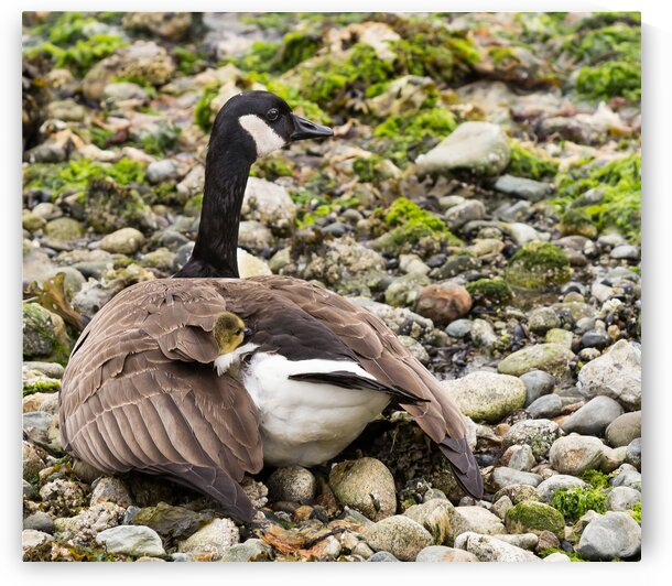 Canada Goose With Baby by bj clayden photography