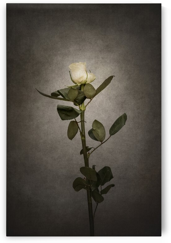 Graceful white Rose | vintage by Melanie Viola