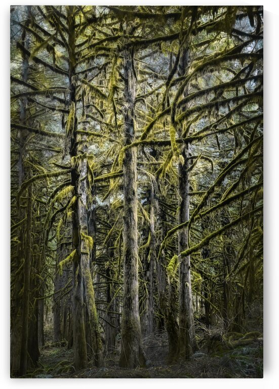 Moss Covered Trees by Carmel Studios