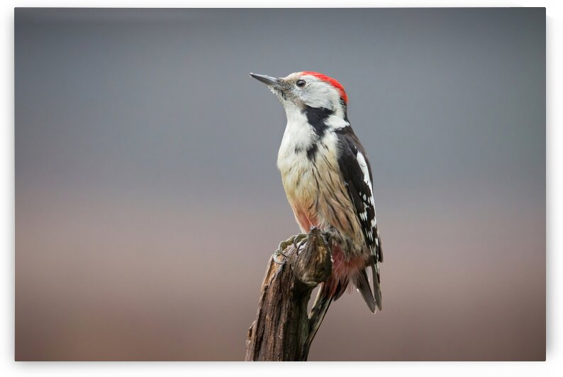 Middle Spotted Woodpecker 1 by Dominika Aniola