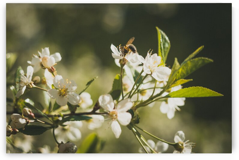 Bee Bloom Blooming Blossom Branch Buds by 7ob