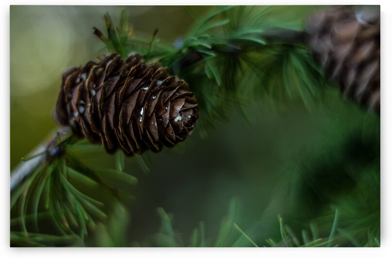 Pine Cone Green Tree Coniferous Nature Pine Iglak Forest by 7ob