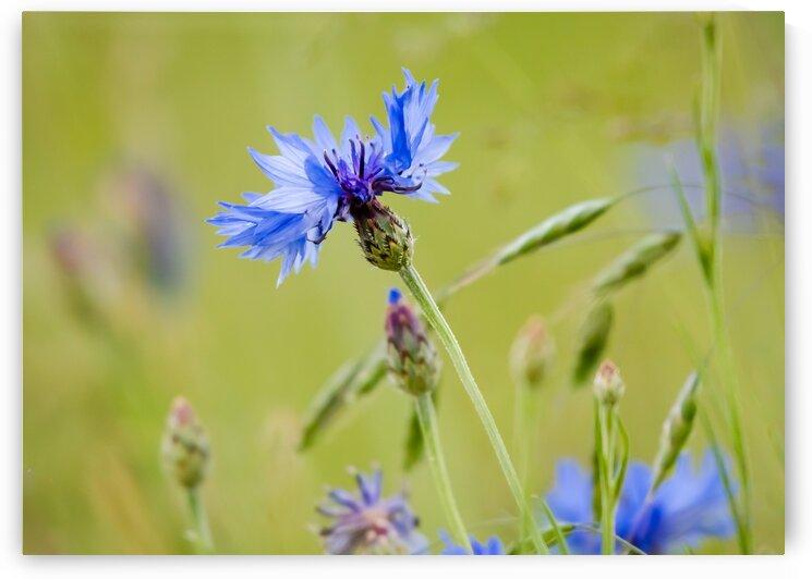 Blue Wild Flower by Diane Lynn