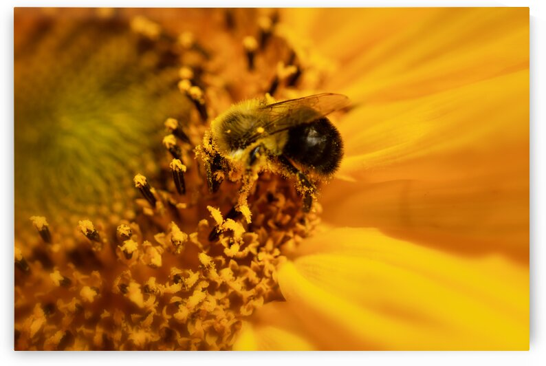 Bee into sunflower by Katharine Asals Photography