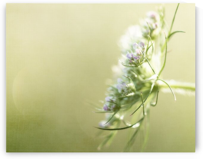 Queen Annes lace with green by Katharine Asals Photography
