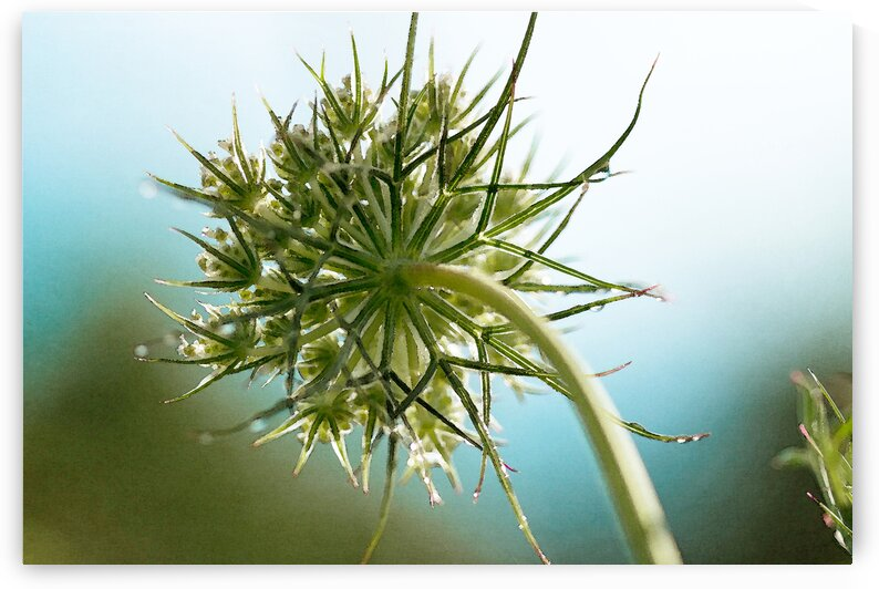 Queen Annes lace with blue by Katharine Asals Photography