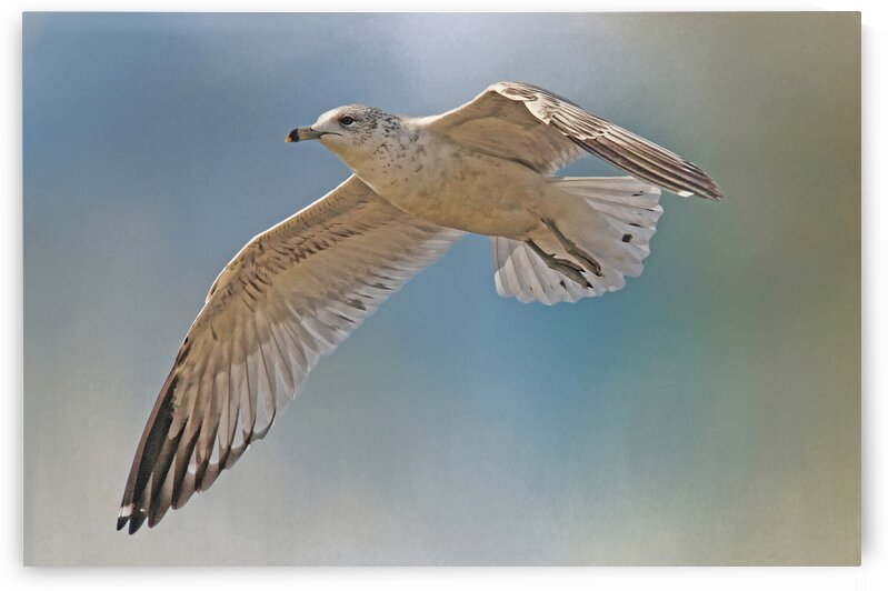Seagull In Flight by HH Photography of Florida