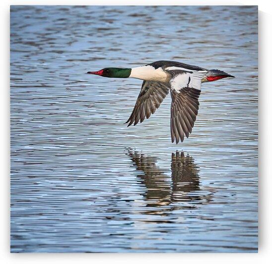 Merganser in flight by Andrew Wasik