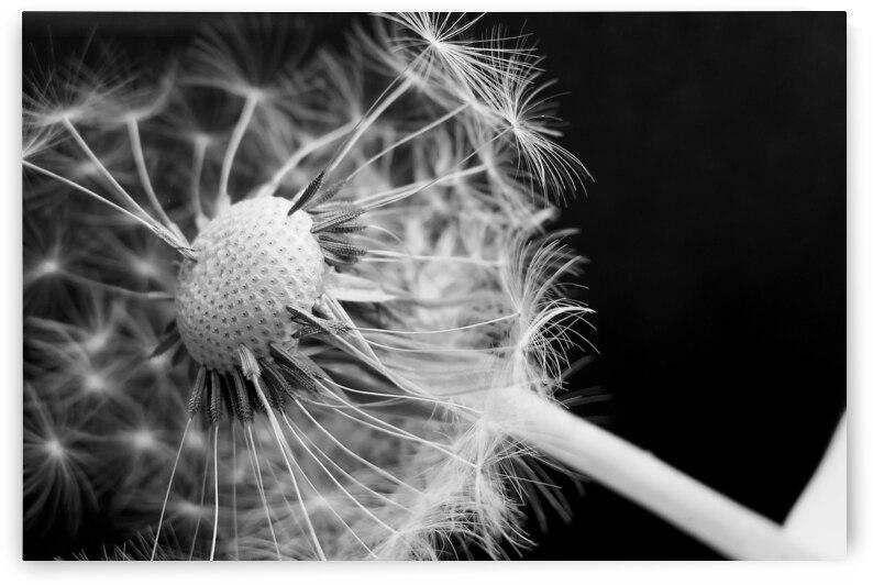 Black And White Dandelion Flower Umbrella Blossom Bloom Seeds Common by 7ob